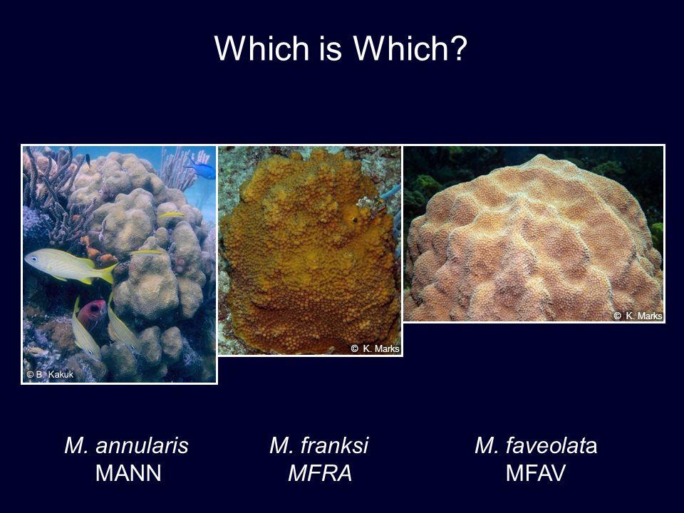 Which is Which? M. annularis M. franksiM. faveolata MANN MFRA MFAV