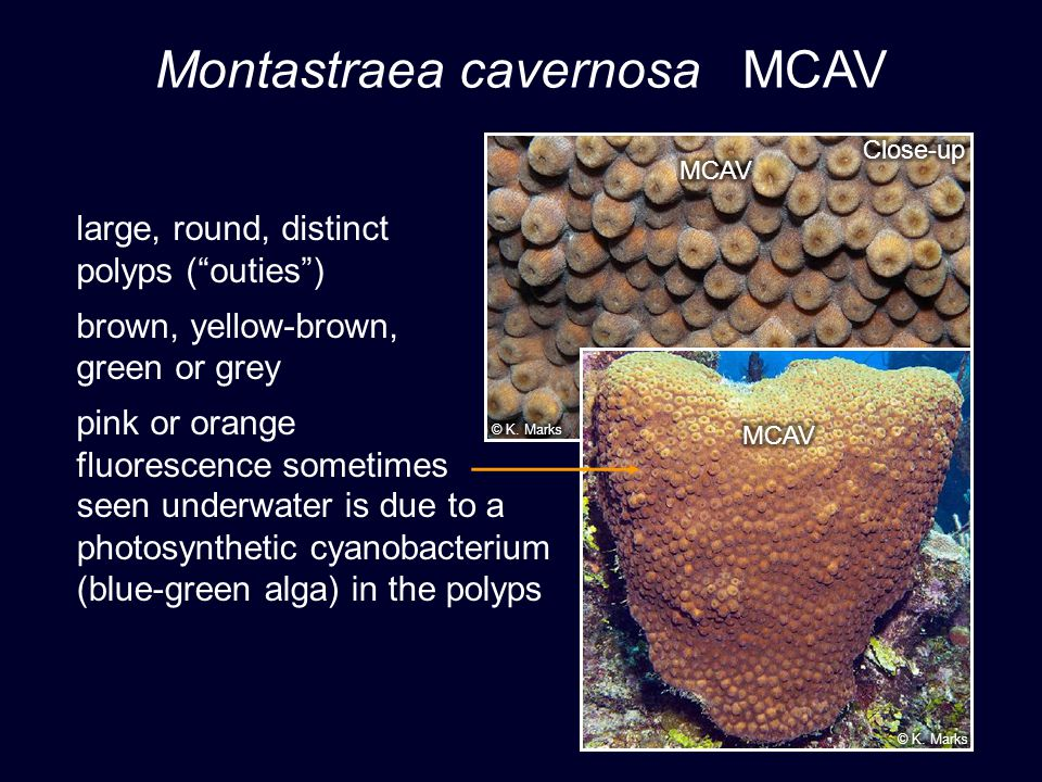 Montastraea cavernosa MCAV large, round, distinct polyps (outies) brown, yellow-brown, green or grey pink or orange fluorescence sometimes seen underwater is due to a photosynthetic cyanobacterium (blue-green alga) in the polyps