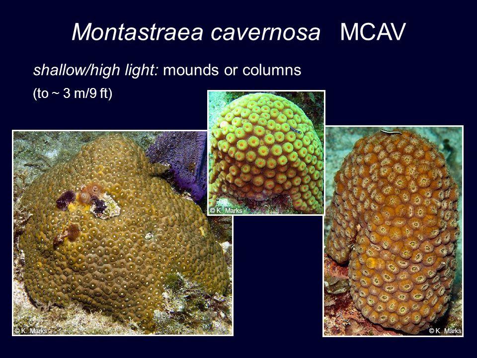 Montastraea cavernosa MCAV shallow/high light: mounds or columns (to ~ 3 m/9 ft)