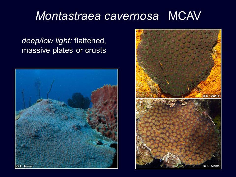 Montastraea cavernosa MCAV deep/low light: flattened, massive plates or crusts