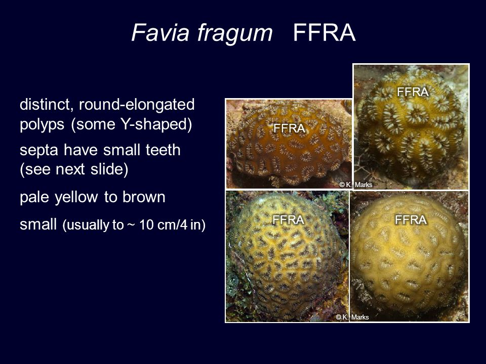 Favia fragum FFRA distinct, round-elongated polyps (some Y-shaped) septa have small teeth (see next slide) pale yellow to brown small (usually to ~ 10 cm/4 in)
