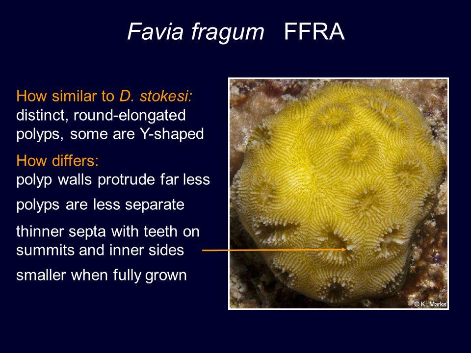 Favia fragum FFRA How similar to D.