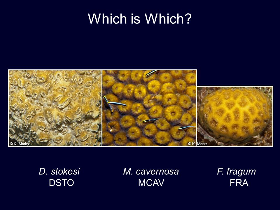 D. stokesi M. cavernosa F. fragum DSTO MCAV FRA Which is Which?