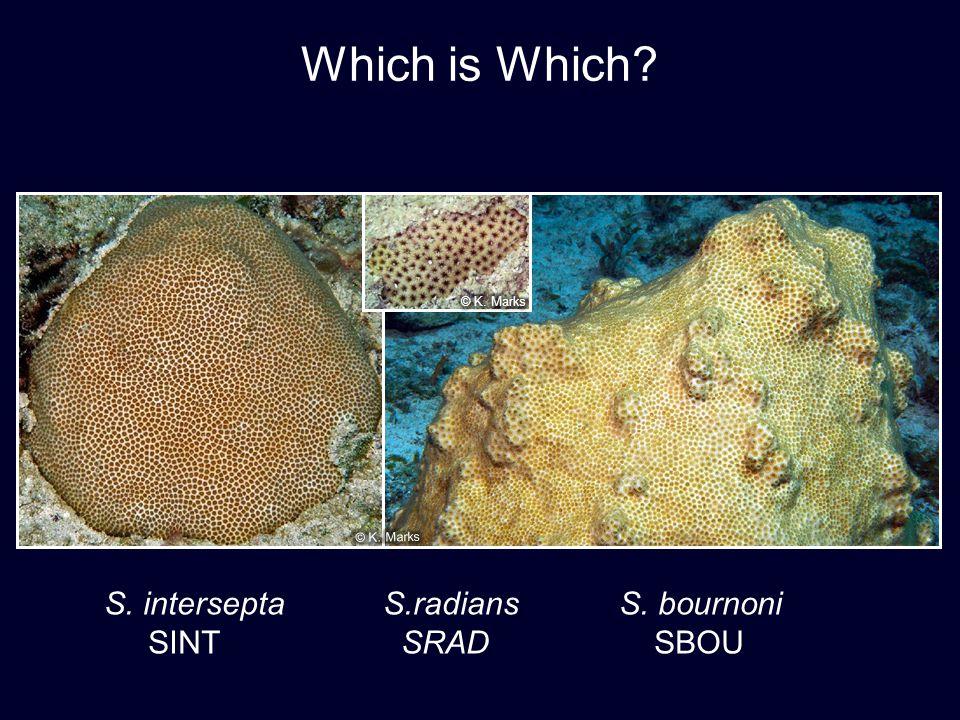 S. interseptaS.radians S. bournoni SINT SRAD SBOU Which is Which?