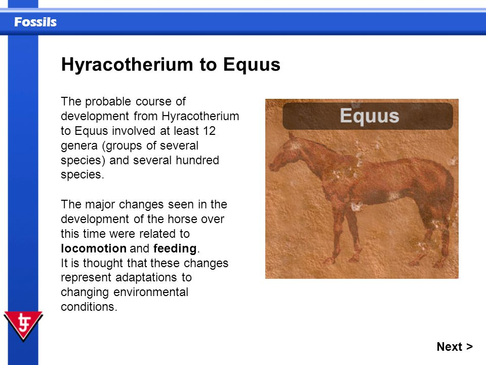 Fossils Next > The probable course of development from Hyracotherium to Equus involved at least 12 genera (groups of several species) and several hund