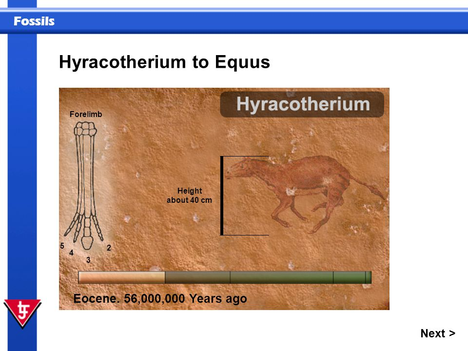 Fossils Next > Hyracotherium to Equus Eocene. 56,000,000 Years ago 2 3 4 5 Height about 40 cm Forelimb