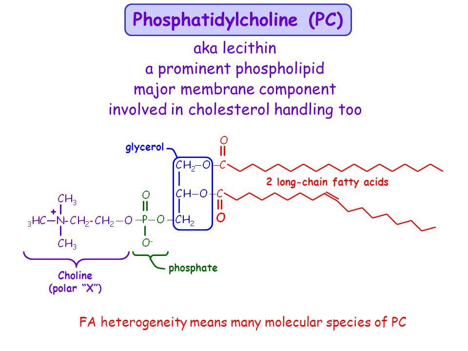 phosphate glycerol Phosphatidylcholine (PC) Choline (polar X) 2 long-chain fatty acids aka lecithin a prominent phospholipid major membrane component