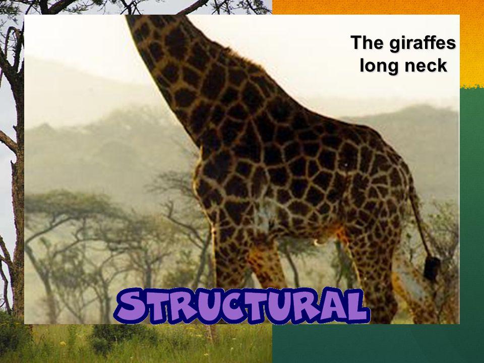 The giraffes long neck
