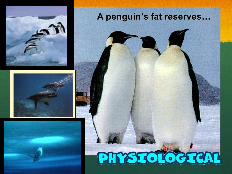 A penguins fat reserves…