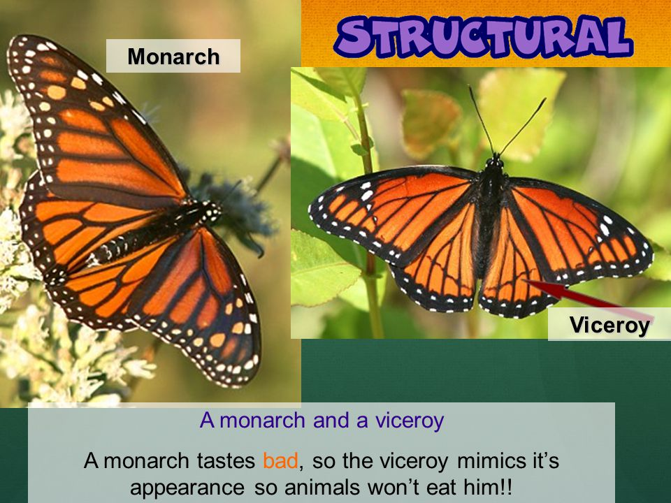 A monarch and a viceroy A monarch tastes bad, so the viceroy mimics its appearance so animals wont eat him!.