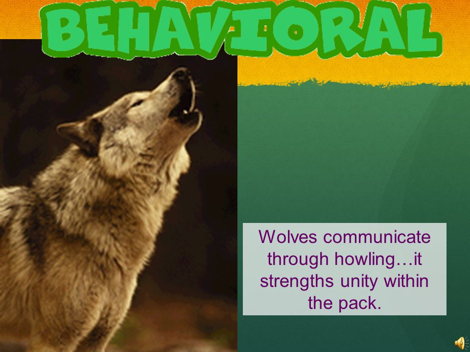 Wolves communicate through howling…it strengths unity within the pack.