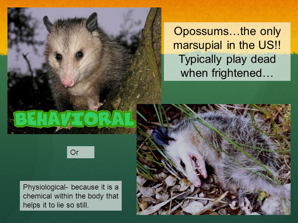 Opossums…the only marsupial in the US!! Typically play dead when frightened… Or Physiological- because it is a chemical within the body that helps it