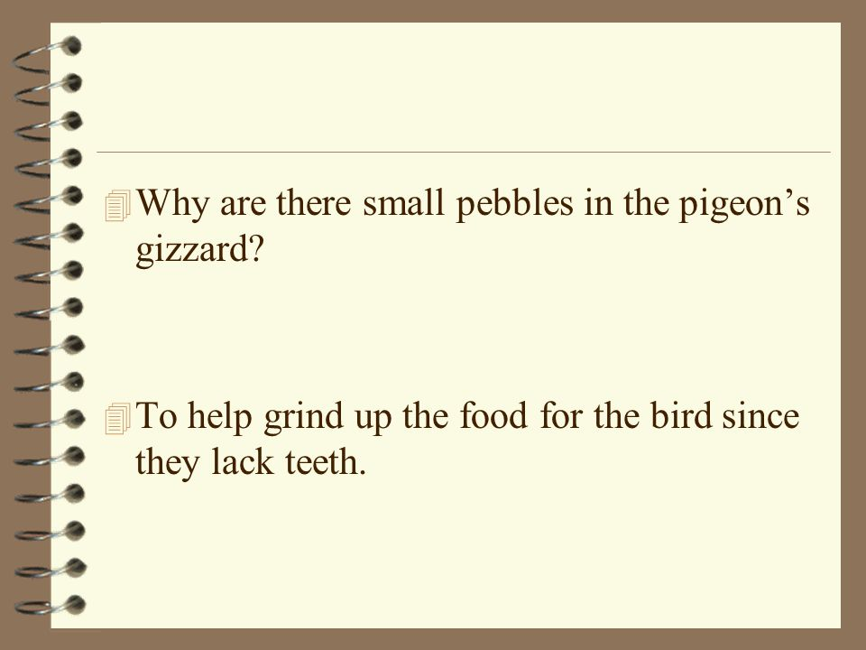 4 Why are there small pebbles in the pigeons gizzard? 4 To help grind up the food for the bird since they lack teeth.