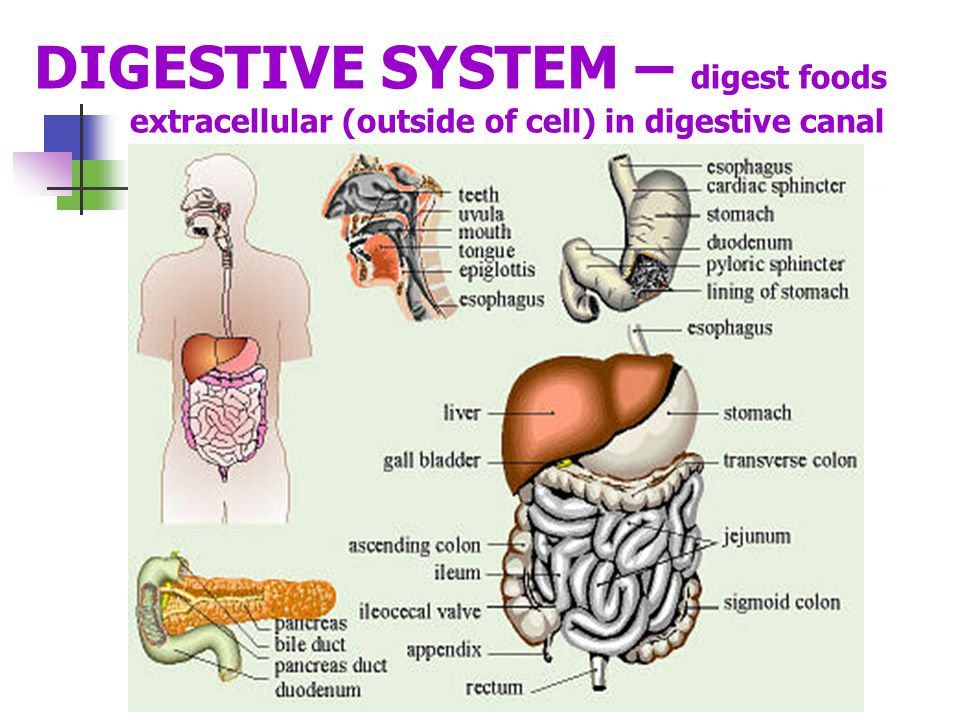 DIGESTIVE SYSTEM – digest foods extracellular (outside of cell) in digestive canal