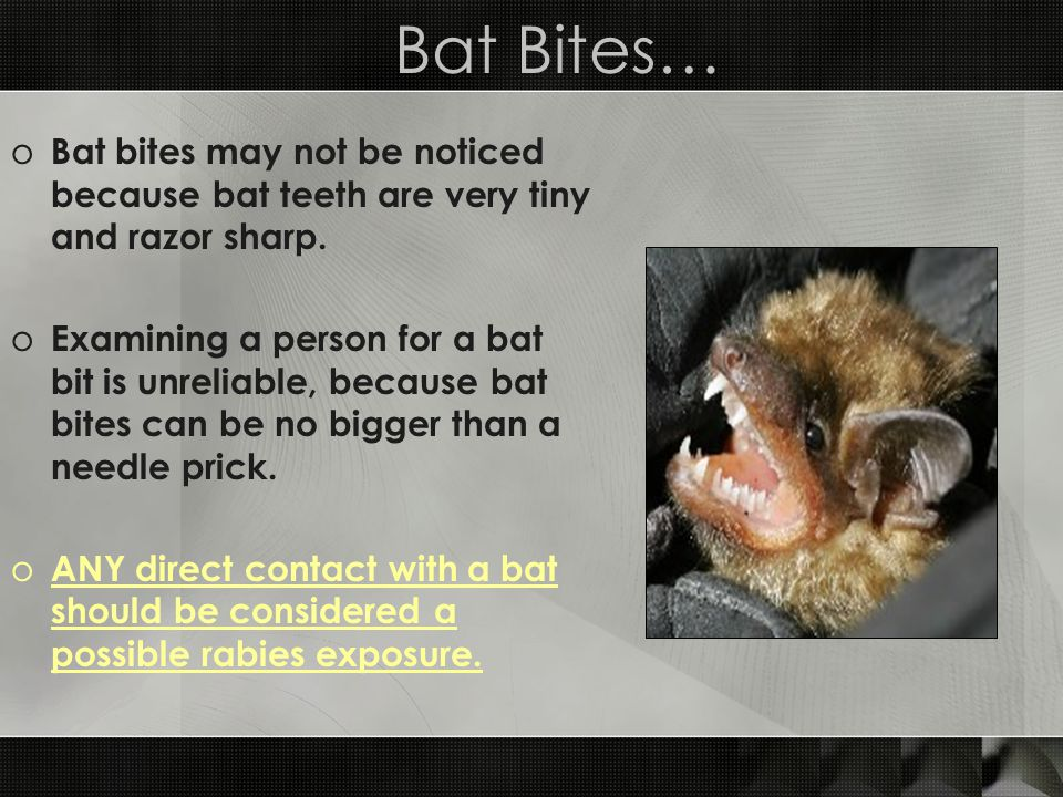 Bat Bites… o Bat bites may not be noticed because bat teeth are very tiny and razor sharp. o Examining a person for a bat bit is unreliable, because b