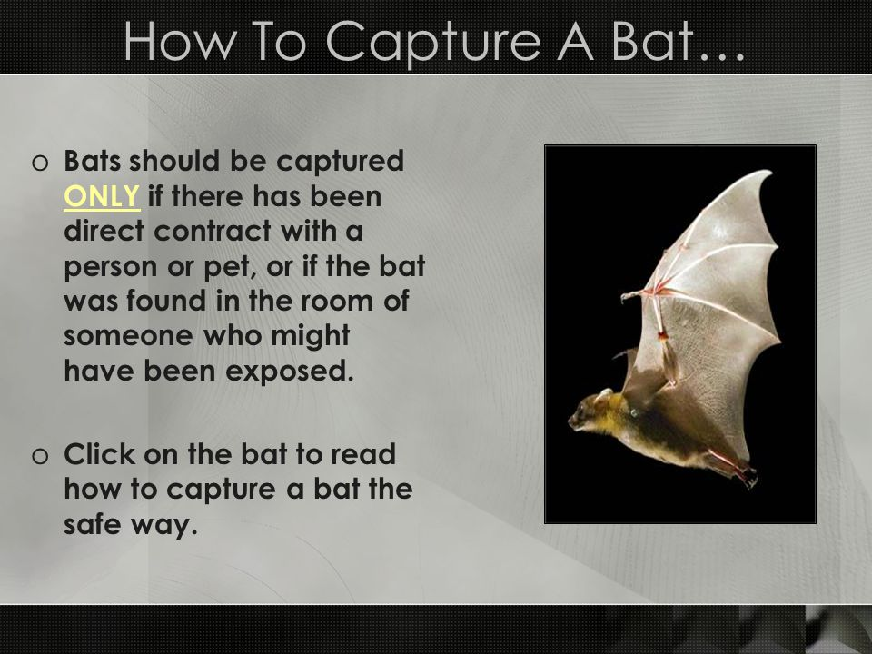 How To Capture A Bat… o Bats should be captured ONLY if there has been direct contract with a person or pet, or if the bat was found in the room of so