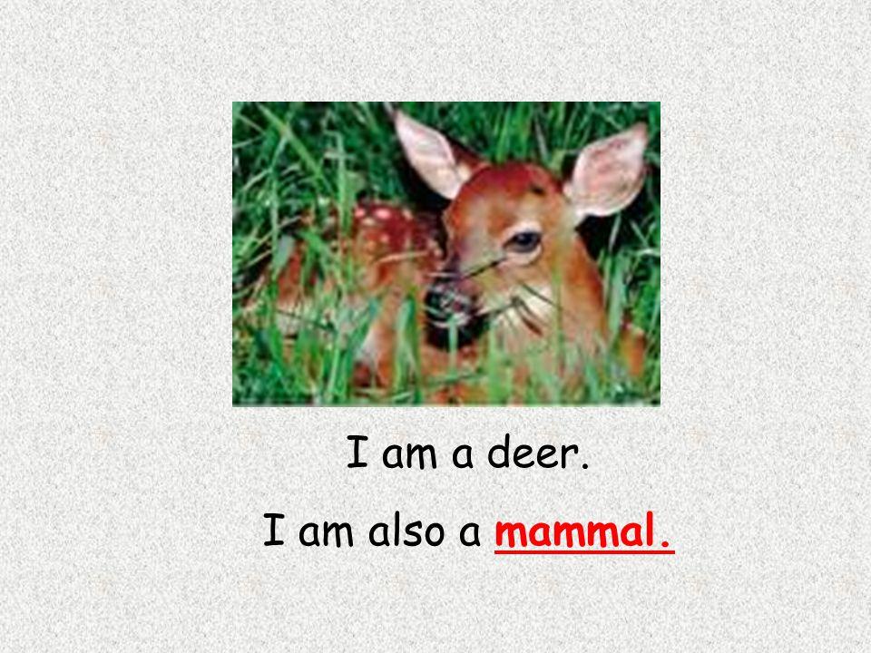 I am a deer. I am also a mammal.