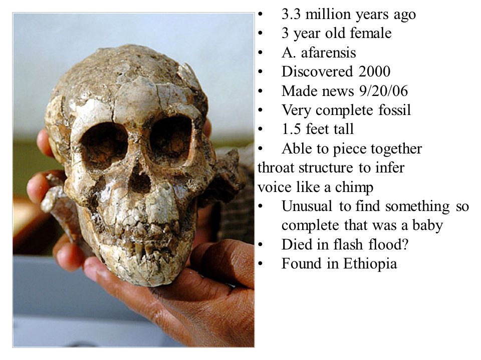 3.3 million years ago 3 year old female A. afarensis Discovered 2000 Made news 9/20/06 Very complete fossil 1.5 feet tall Able to piece together throa