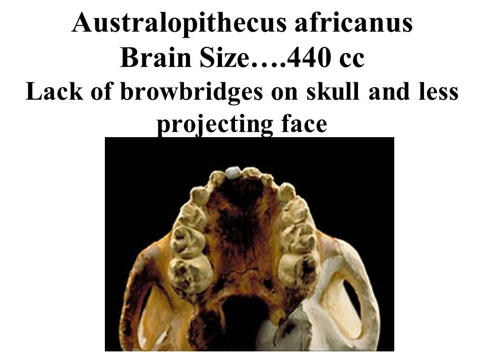 Australopithecus africanus Brain Size….440 cc Lack of browbridges on skull and less projecting face