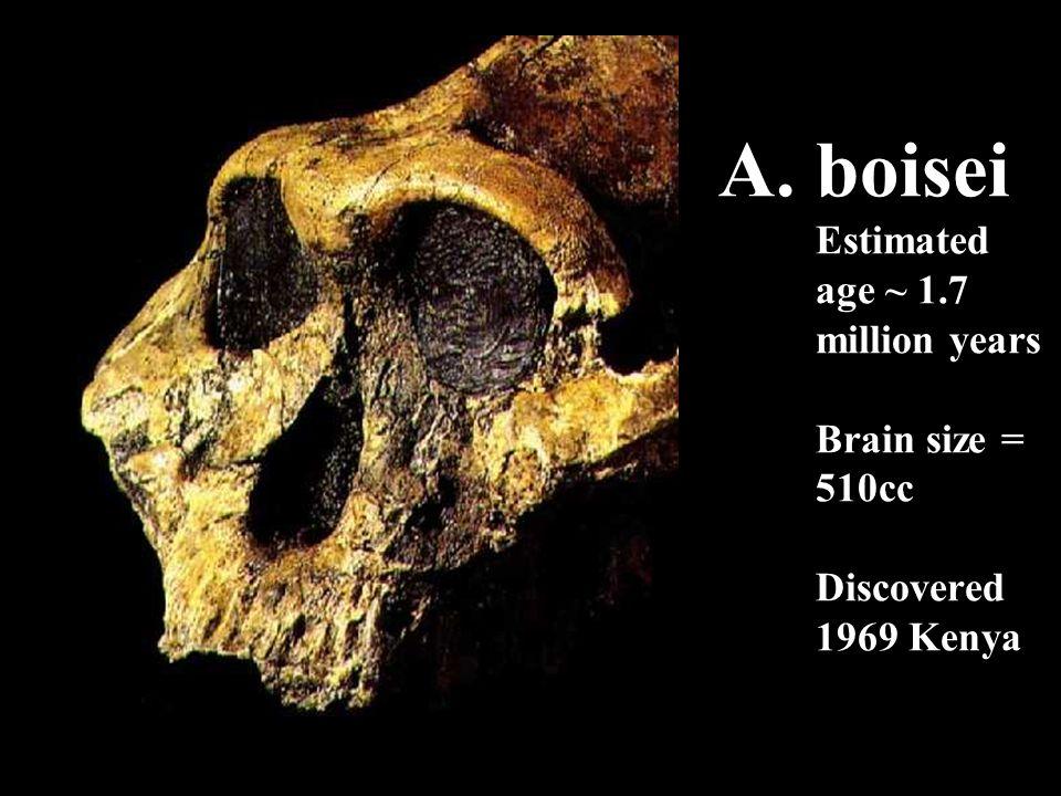 A. boisei Estimated age ~ 1.7 million years Brain size = 510cc Discovered 1969 Kenya