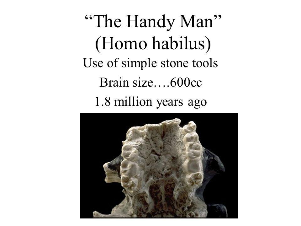 The Handy Man (Homo habilus) Use of simple stone tools Brain size….600cc 1.8 million years ago