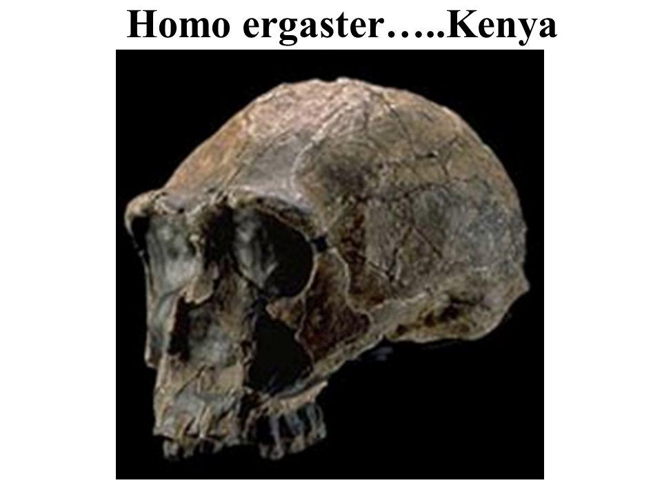 Homo ergaster…..Kenya