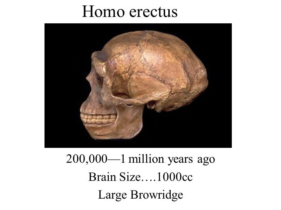 200,0001 million years ago Brain Size….1000cc Large Browridge