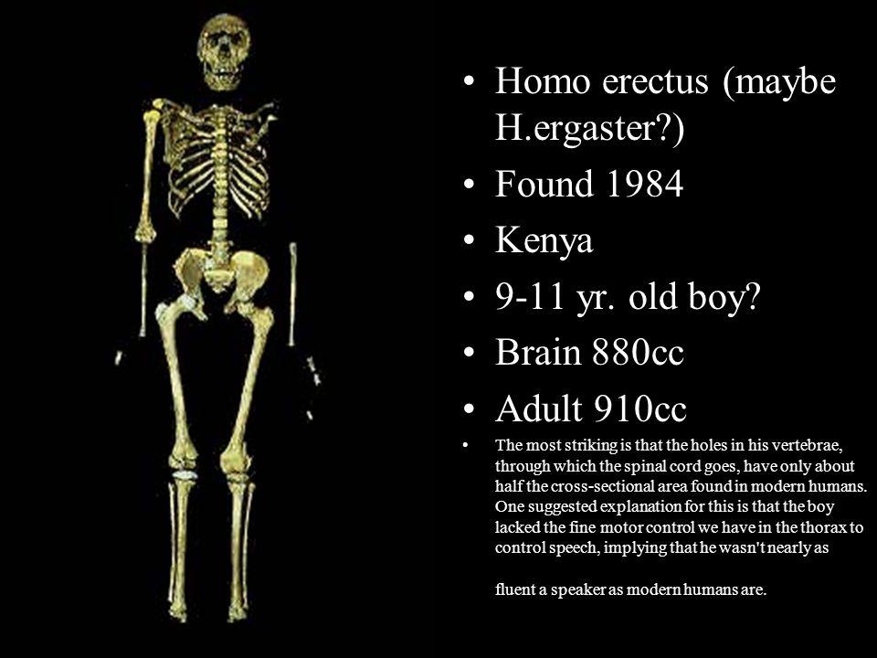 Homo erectus (maybe H.ergaster?) Found 1984 Kenya 9-11 yr. old boy? Brain 880cc Adult 910cc The most striking is that the holes in his vertebrae, thro