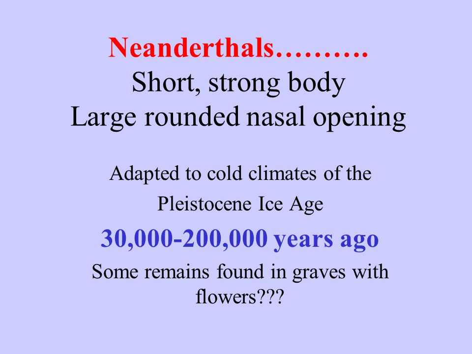 Neanderthals………. Short, strong body Large rounded nasal opening Adapted to cold climates of the Pleistocene Ice Age 30,000-200,000 years ago Some rema
