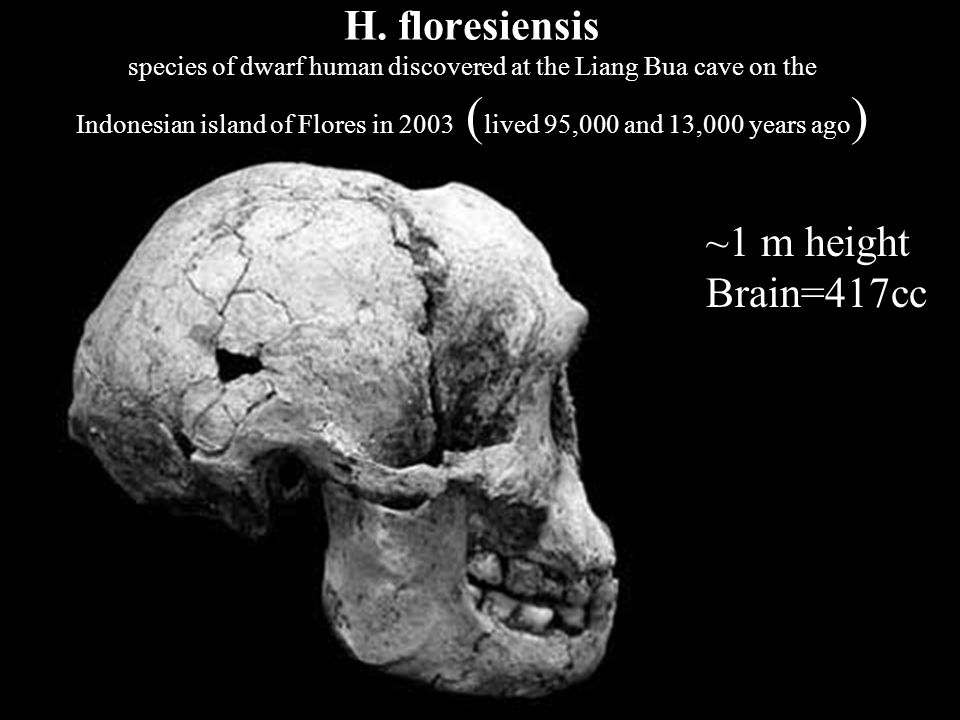 H. floresiensis species of dwarf human discovered at the Liang Bua cave on the Indonesian island of Flores in 2003 ( lived 95,000 and 13,000 years ago