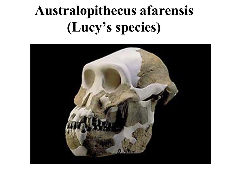 Australopithecus afarensis (Lucys species)