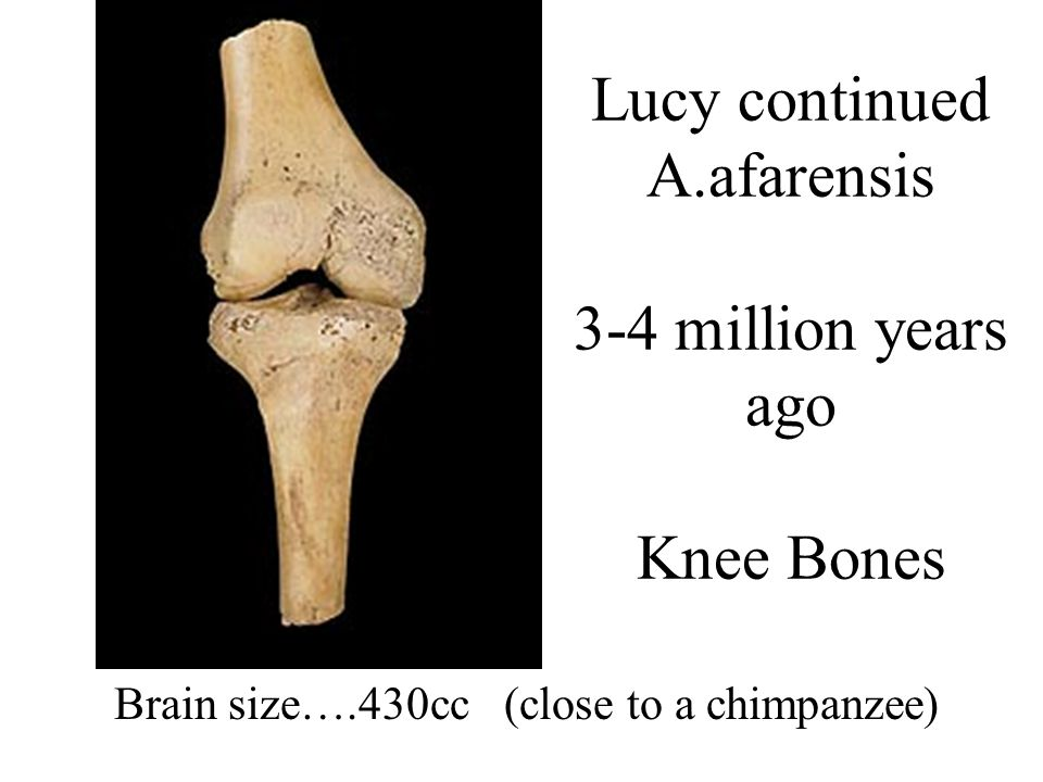 Lucy continued A.afarensis 3-4 million years ago Knee Bones Brain size….430cc (close to a chimpanzee)