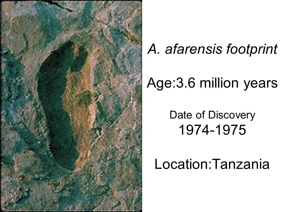 A. afarensis footprint Age:3.6 million years Date of Discovery 1974-1975 Location:Tanzania
