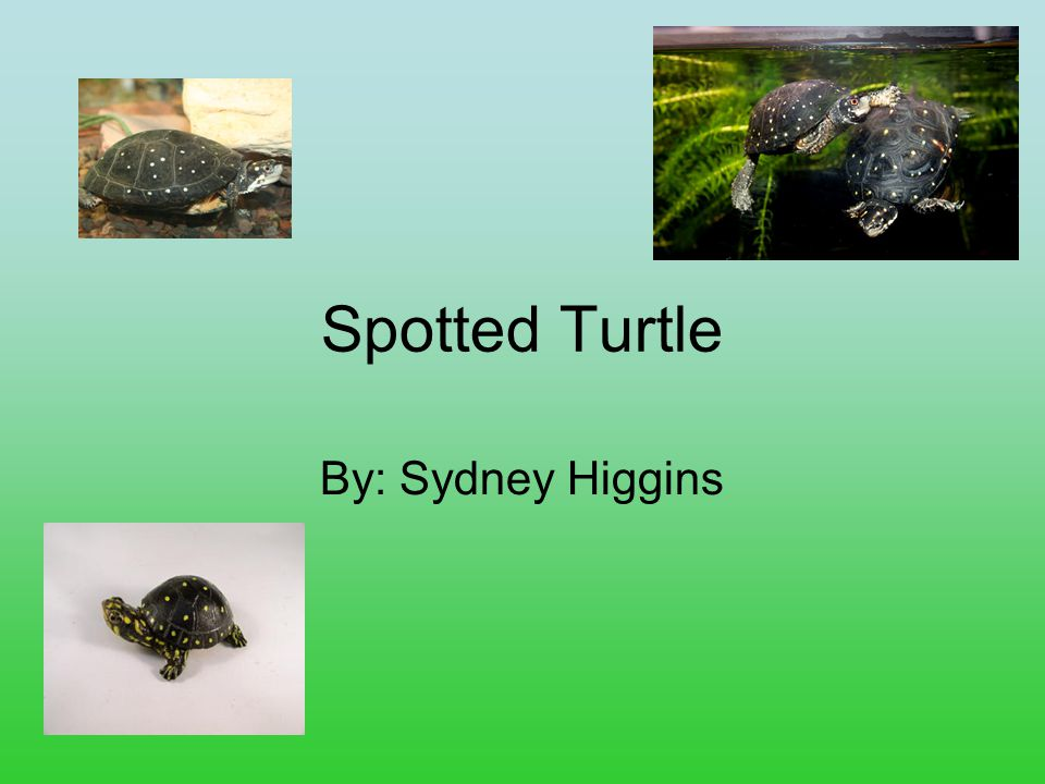 Spotted Turtle By: Sydney Higgins
