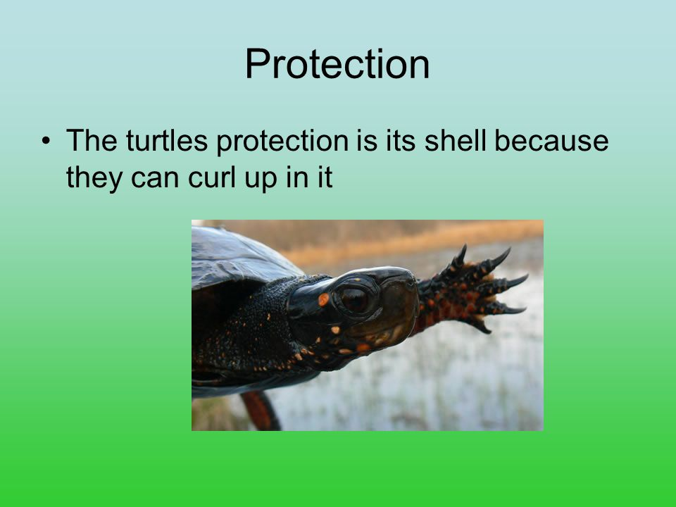Protection The turtles protection is its shell because they can curl up in it