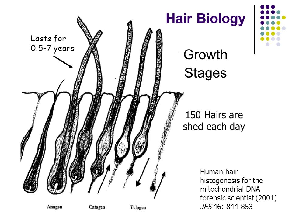 Penn State Forensics Science Serving Justice Hair Biology Growth Stages Lasts for years 150 Hairs are shed each day Human hair histogenesis for the mitochondrial DNA forensic scientist (2001) JFS 46: