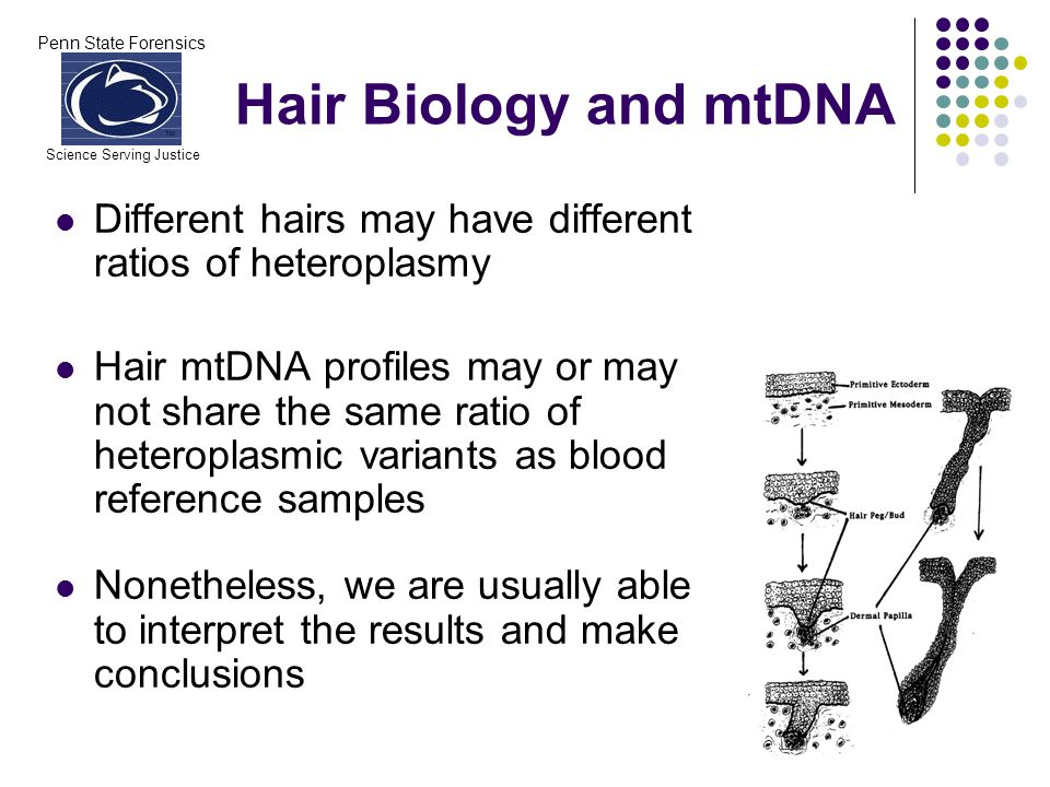 Penn State Forensics Science Serving Justice Hair Biology and mtDNA Different hairs may have different ratios of heteroplasmy Hair mtDNA profiles may