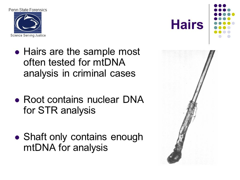 Penn State Forensics Science Serving Justice Hairs Hairs are the sample most often tested for mtDNA analysis in criminal cases Root contains nuclear D