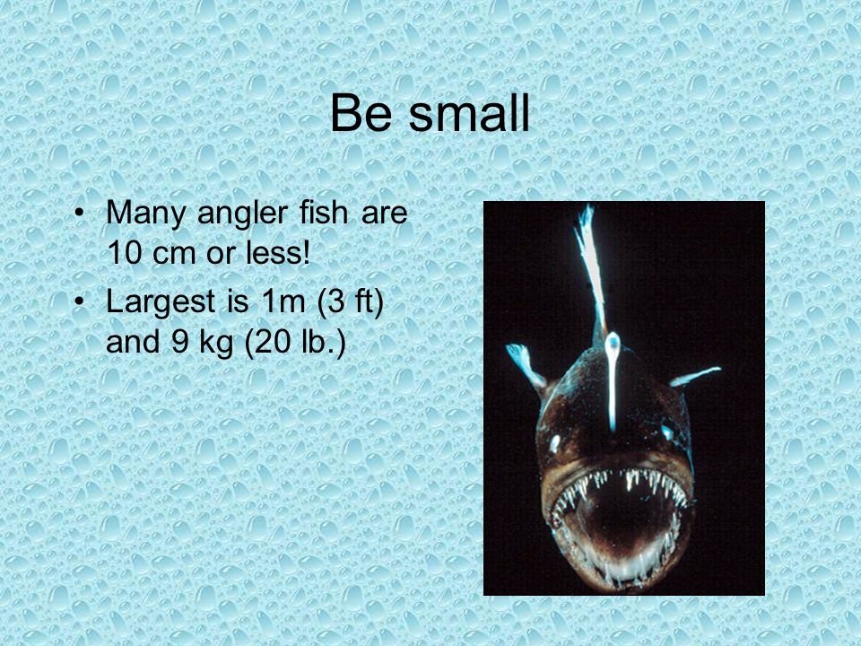 Be small Many angler fish are 10 cm or less! Largest is 1m (3 ft) and 9 kg (20 lb.)