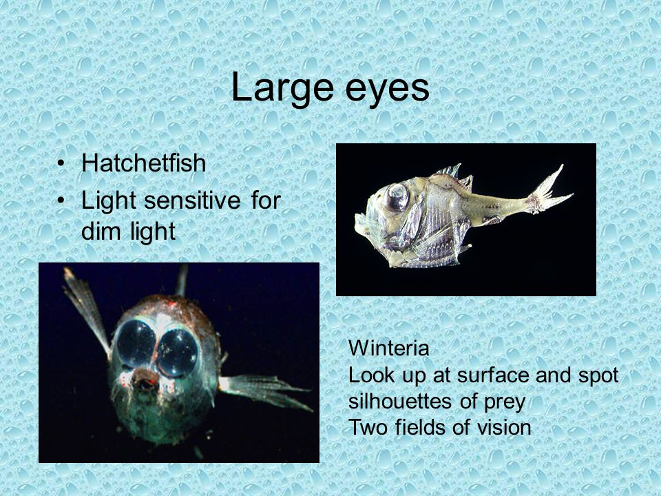 Large eyes Hatchetfish Light sensitive for dim light Winteria Look up at surface and spot silhouettes of prey Two fields of vision