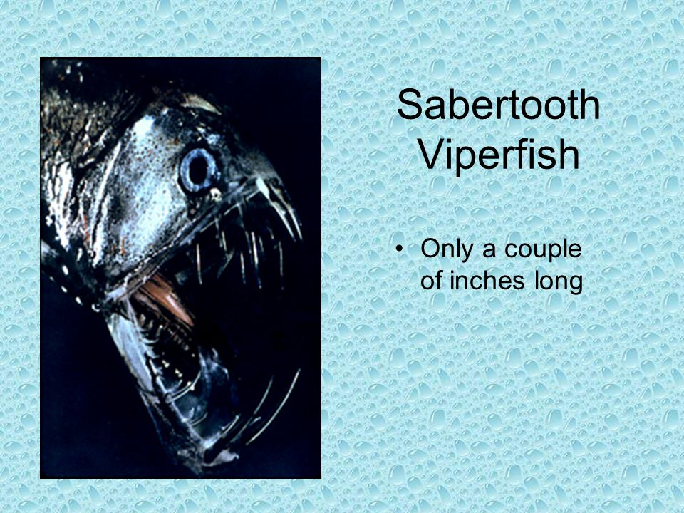 Sabertooth Viperfish Only a couple of inches long