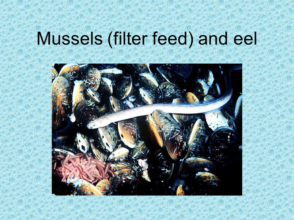 Mussels (filter feed) and eel