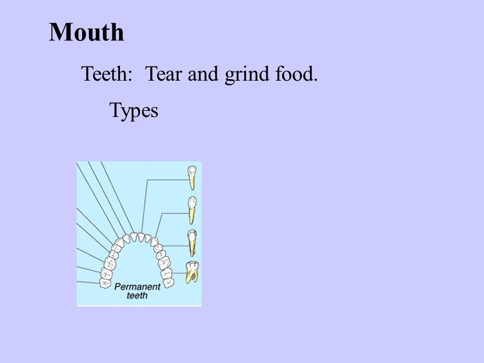 Mouth Teeth: Tear and grind food. Types