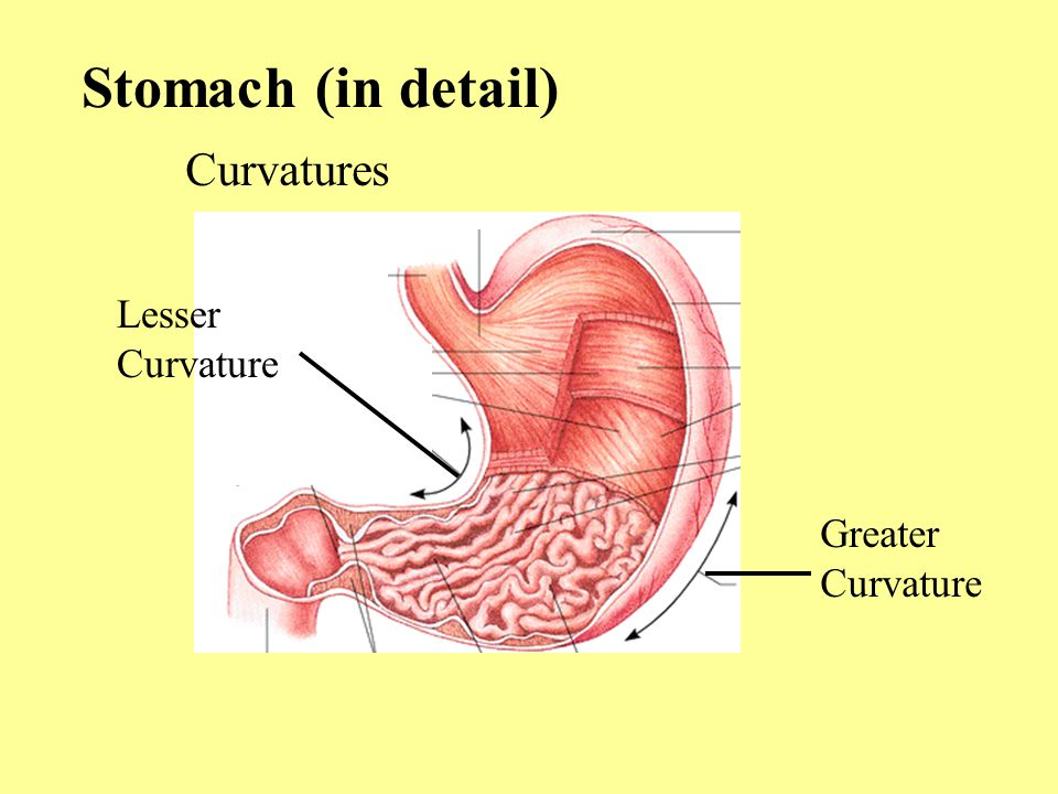 Stomach (in detail) Curvatures Greater Curvature Lesser Curvature
