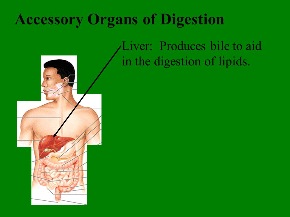 Accessory Organs of Digestion Liver: Produces bile to aid in the digestion of lipids.