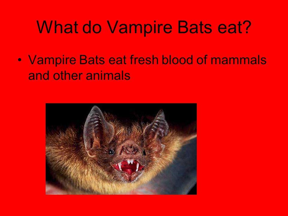 What do Vampire Bats eat? Vampire Bats eat fresh blood of mammals and other animals