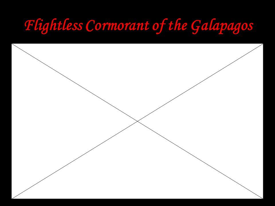 Flightless Cormorant of the Galapagos