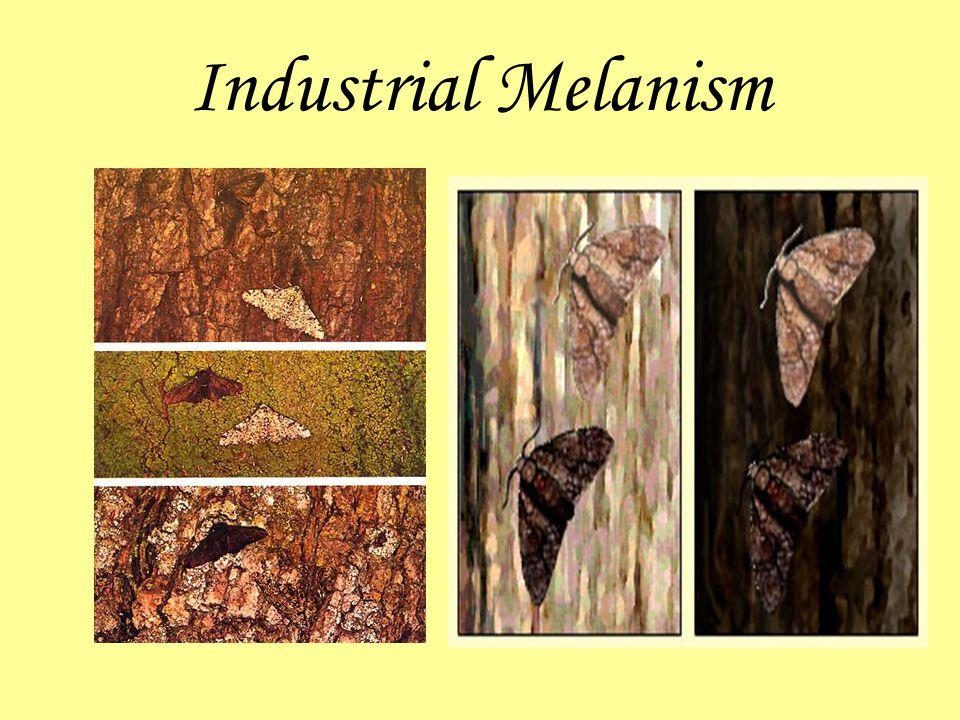 Industrial Melanism