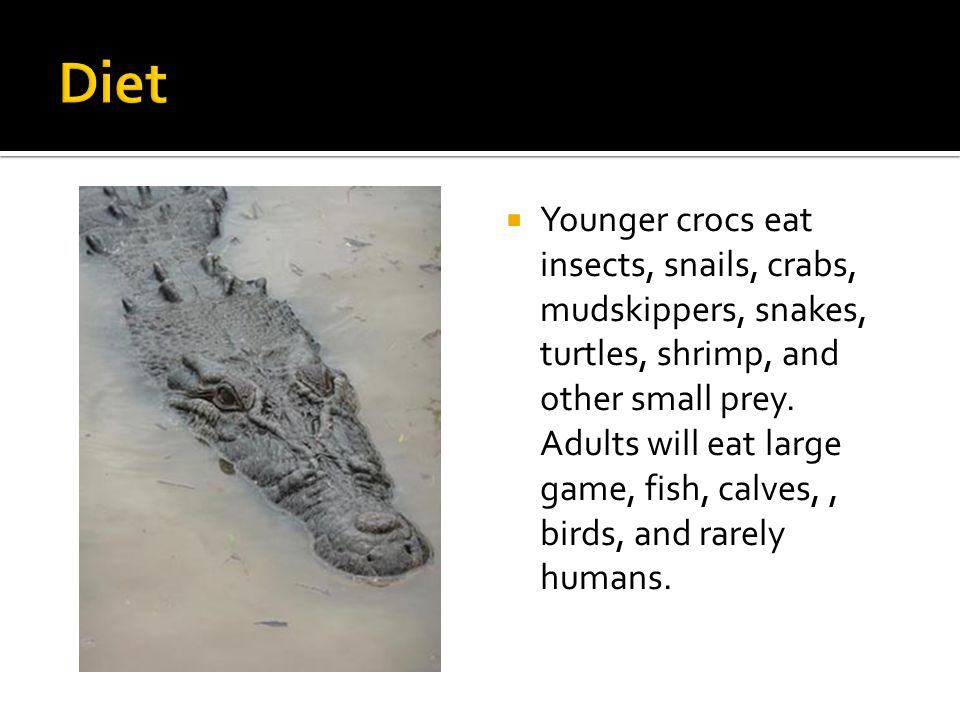 Younger crocs eat insects, snails, crabs, mudskippers, snakes, turtles, shrimp, and other small prey.