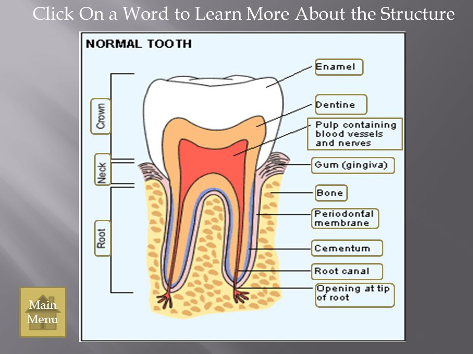 Neck Back to the tooth structure Main Menu Main Menu The region of the tooth that is at the gum line, between the root and the crown.